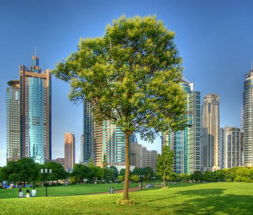 CHINA - Shanghai - Lone tree surrounded by skyscrapers HDR