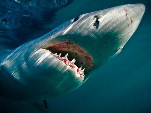 great white shark underwater photography