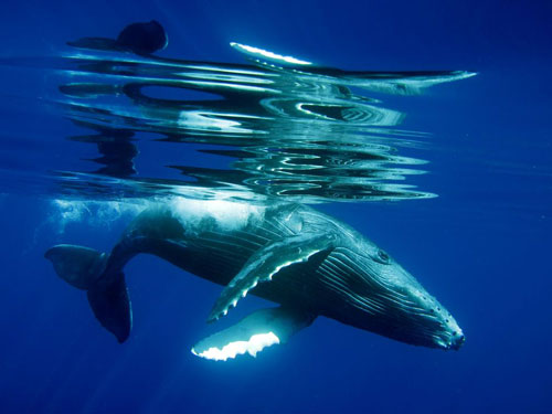 humpback whale calf underwater photography
