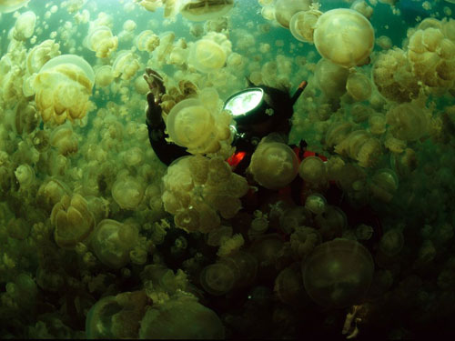 jellyfish swarm doubliet photography