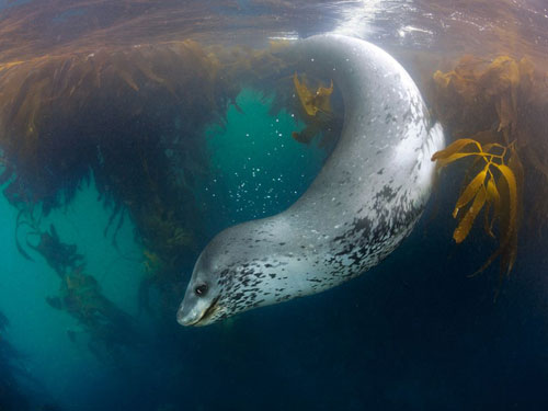 leopard seal swimming photography