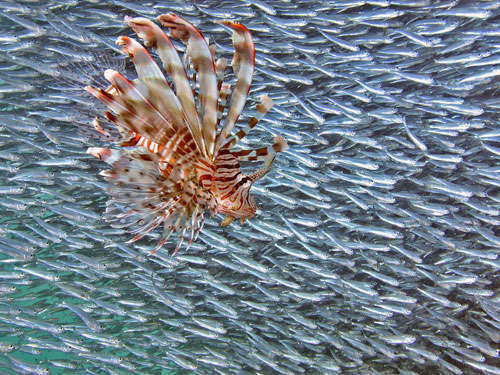 lionfish and baitfish underwater photography