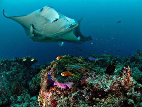 manta ray underwater maldives photography