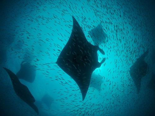 manta rays hanifaru bay photography