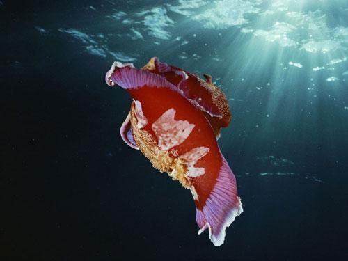 spanish dancer nudibranch doubilet photography