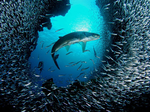 tarpon grand cayman photography