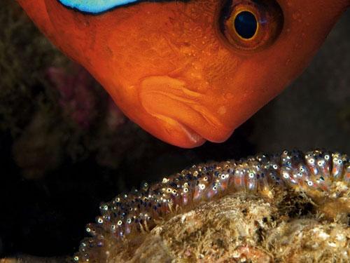 tomato clownfish photography