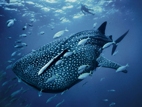 whale shark skerry photography
